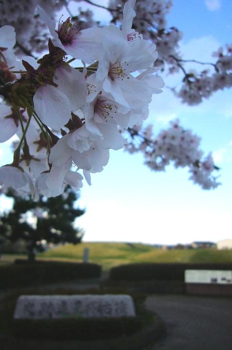 前方後円墳の桜2.jpg