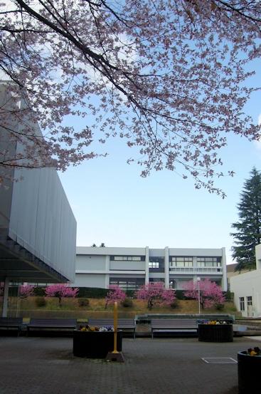 職場の桜1.jpg