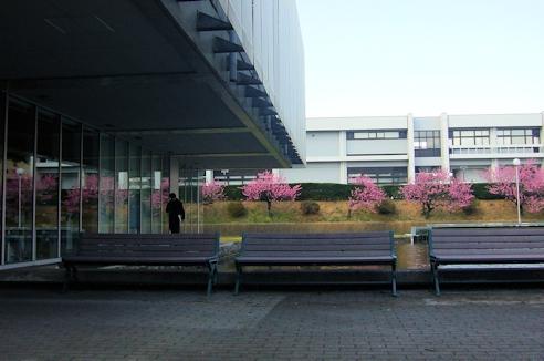 職場の桜2.jpg